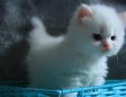 纯白高地猫 纯白英短猫 英短长毛猫妹妹mm