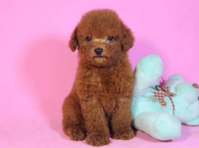 杭州本地出售泰迪熊 上门700一只 包健康 包纯种 多只可选