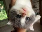 可爱蓝猫宝宝,价格好商量,只为找好人家!