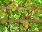 吐鲁番的葡萄熟了