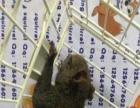 魔王松鼠心动价格出售,全年有货,金花也有卖
