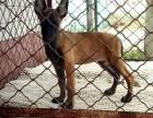 宁波精品马犬多少钱一只呢