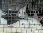 宠物兔熊猫兔自家养的
