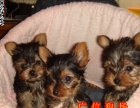 佛山想养纯种约克夏 欢迎来正规名犬养殖场选购参观