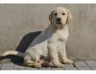 年底大促 喜欢拉布拉多的朋友不要错过 纯种导盲犬拉布拉多幼犬