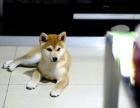 贵阳日系柴犬价格 贵阳美系柴犬价格 贵阳日系柴犬多少钱