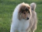 精品苏格兰牧羊犬 保纯保健康 疫苗和驱虫均已做完