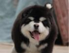 高品质阿拉斯加犬出售中 终身质保 质量三包 可签协
