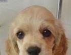 养殖场出售纯种大耳可卡幼犬,公母都有