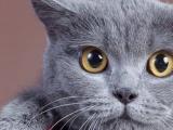 纯种英短蓝猫4个月