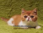 上海买猫 眼鼻加菲猫多只找新家健康保证 可上门 全国包邮