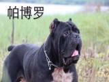 卡斯罗犬多少钱 卡斯罗犬图片 纯种卡斯罗卡斯罗幼犬