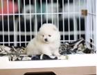 福州哪里有宠物狗卖哈多利版球型博美宝宝 可爱至极