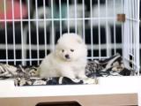 金华哪里有宠物狗卖哈多利版球型博美宝宝 可爱至极