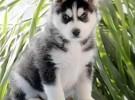 正规实体养狗场直销世界名犬 签协议保健康纯种 上门挑选