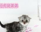出售自家美短虎斑猫咪
