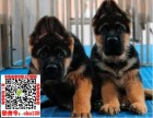 北京德国牧羊犬什么价格 买卖黑背图片锤系德牧狼狗养殖基地