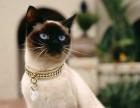暹罗猫纯种多只健康活泼花色完美的宝宝找新家