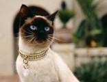 暹羅貓純種多只健康活潑花色完美的寶寶找新家