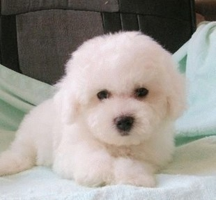 大眼睛甜美脸型法系小体大毛量纽扣眼棉花糖比熊幼犬