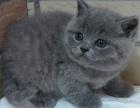 一猫在手 一生牵手 萌萌小蓝猫 含泪出售