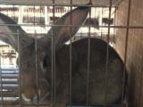 养獭兔种兔好还是肉兔种兔好