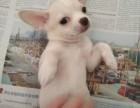 吉娃娃博美求收养可爱狗狗寻找新主人