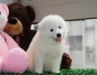 纯种微笑天使萨摩耶雪橇犬 雪白无泪痕 保健康