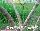 台湾桑葚果苗易种易管 高产