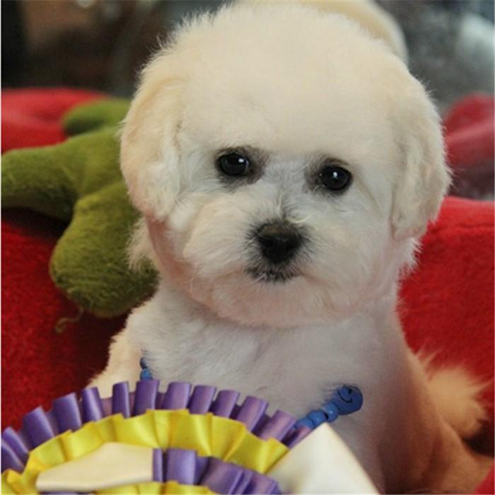 大型正规犬舍繁殖纯种健康比熊幼犬 卷毛狗 活泼可爱小型犬