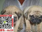 湛江巴哥犬转让什么价格 出售纯种鹰版八哥图片求购宠物狗