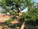 出售古树-檀树一颗