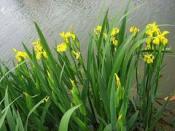 潍坊可靠的水生鸢尾提供商|宁夏水生植物