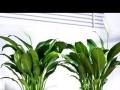 绿萝吸甲醛,换空气植物,新房必备。家里生气勃勃。