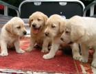 出售纯种拉布拉多幼犬黑色的和黄色的均可以挑选送用品