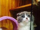 自家繁育带血统英短蓝猫加白折耳立耳健康无癣有保障