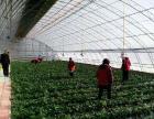 亚滦湾草莓采摘园