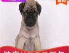 哪有巴哥犬出售,巴哥犬出售多少钱