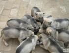 山东大型肉狗养殖场出售:纯种肉狗苗价格最低包回收