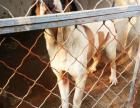 出售改良肉狗苗,杂交肉狗种苗免费提供养殖技术及市场销路