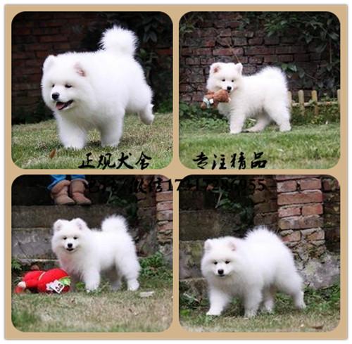 纯种萨摩耶幼犬