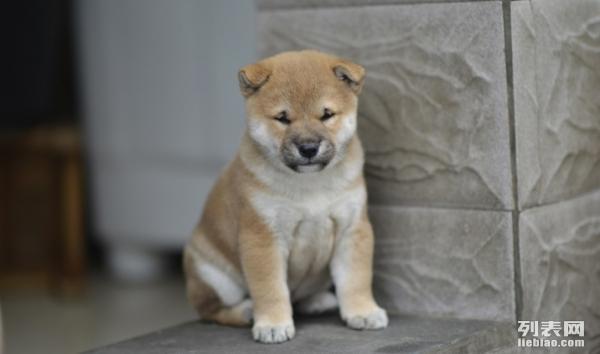 宁波在哪里有纯种健康的柴犬卖 宁波日系柴犬好养吗