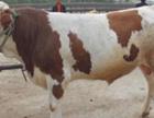 太原肉牛牧场改良牛