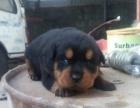精品罗威纳幼犬出售