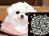 买洁白无瑕 聪明贵气的马尔济斯幼犬 保健康保品质
