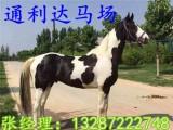 马驹子好驯服吗?要怎样驯才可以 伊犁马 蒙古马多少钱一匹