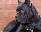 出售纯种卡斯罗 卡斯罗幼犬 品质好 健康保证 血统纯正