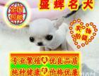 实物拍摄 绝无二家 吉娃娃幼犬 签订活体协议