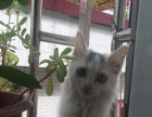 鸳鸯眼纯种挪威森林长毛猫4个月大,