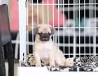 青岛市哪里卖八哥犬 青岛市鹰版八哥多少钱 青岛市八哥